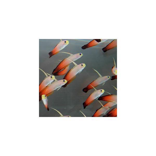  ハタタテハゼ 【3匹】 4-6cm±(A-0339) 海水魚 サンゴ 生体