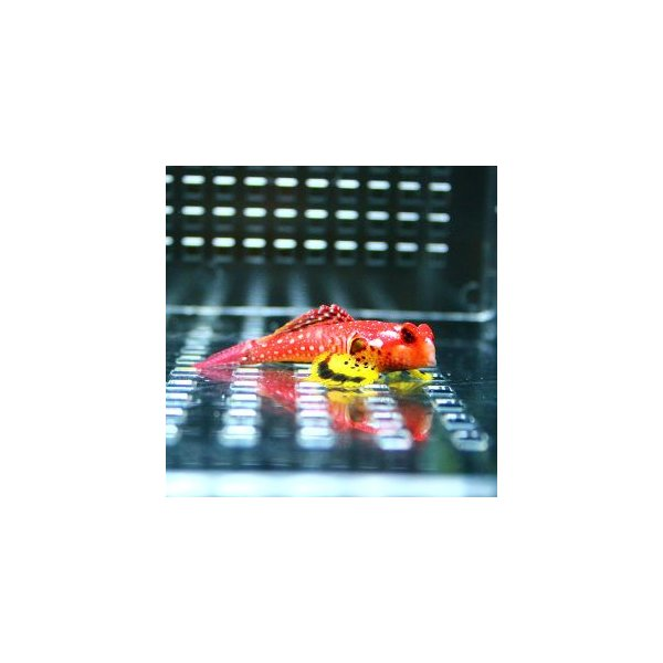  ルビーレッドドラゴネット  (A-0353) 海水魚 サンゴ 生体