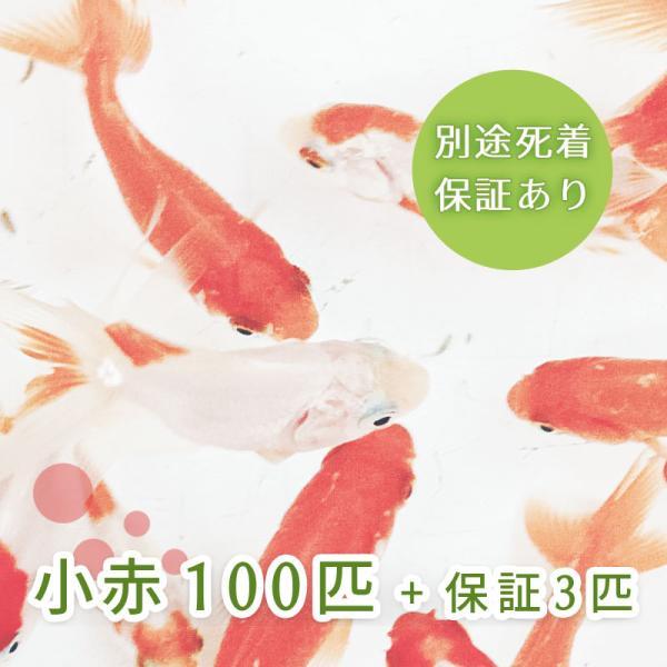 |(金魚)小赤 100匹 エサ用金魚 大和郡山産 エサ金 餌金 送料無料