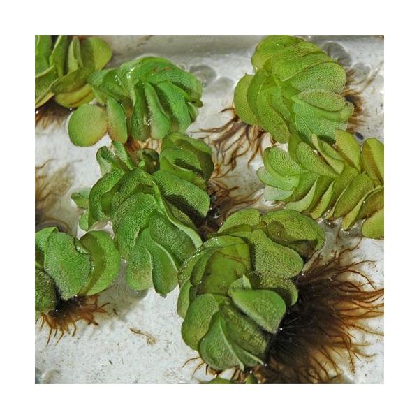 サルビニアナタンス オオサンショウモ 1個|aquapet