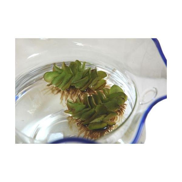 サルビニアナタンス オオサンショウモ 1個|aquapet|02