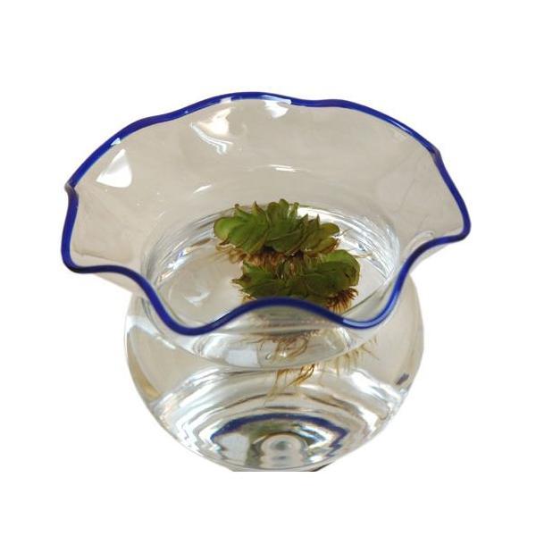 サルビニアナタンス オオサンショウモ 1個|aquapet|03
