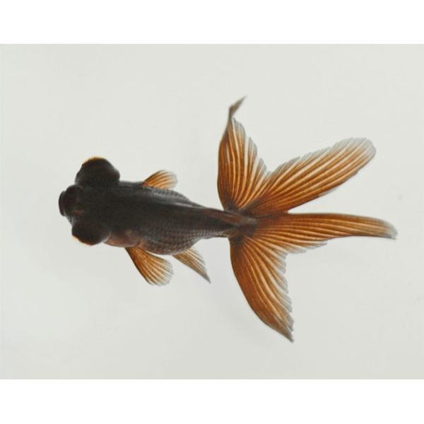 国産金魚 黒出目金 1匹 2020年2月18日入荷