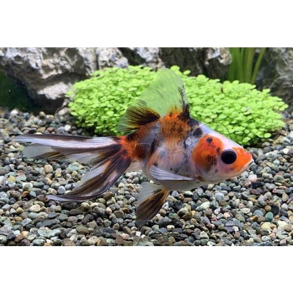 国産金魚 キャリコ琉金 SM(約 5cm)1匹 ※入荷日:2020年3月26日