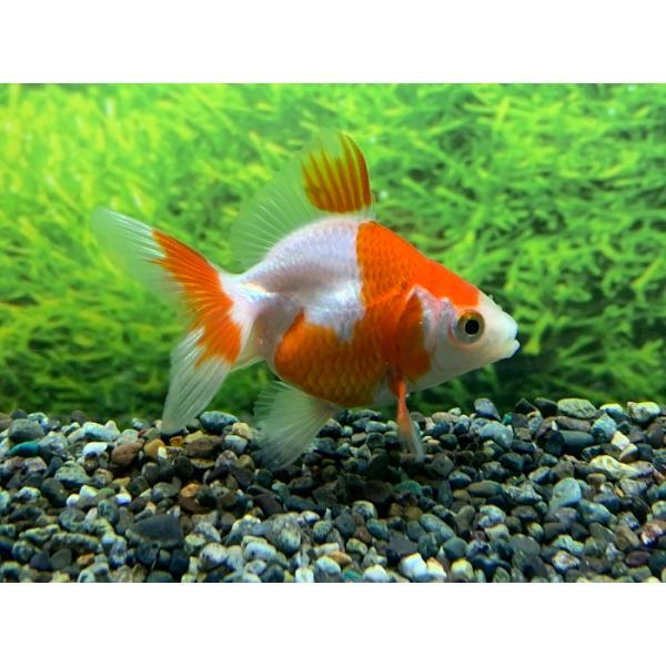 国産金魚 更紗琉金(約4〜5cm〜)3匹 2020年2月22日入荷