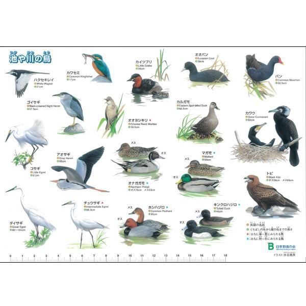日本野鳥の会 オリジナル下敷き 「池や川の鳥」 / 野鳥 イラスト B5判 ...