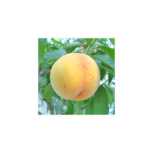 桃ももモモ ギフトセット 白麗&サンゴールド(8〜10個)【アダチ観光農園直送】|arumama|05