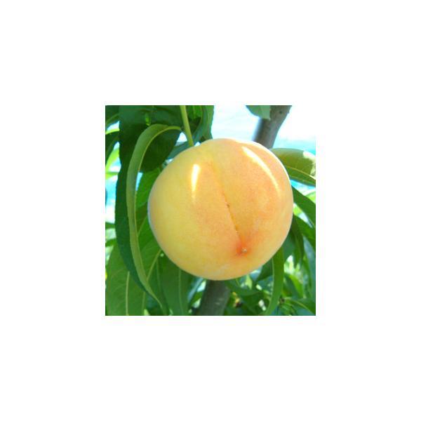 黄金桃(マンゴーピーチ)|arumama|04