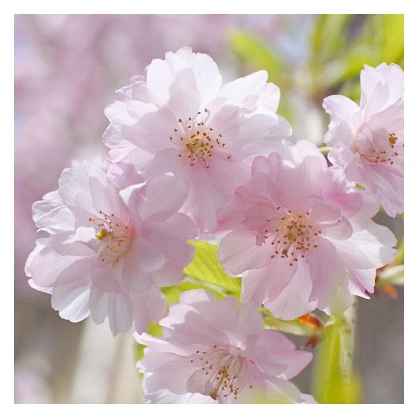 フラワージャム 八重桜 KANOM|arumama|05
