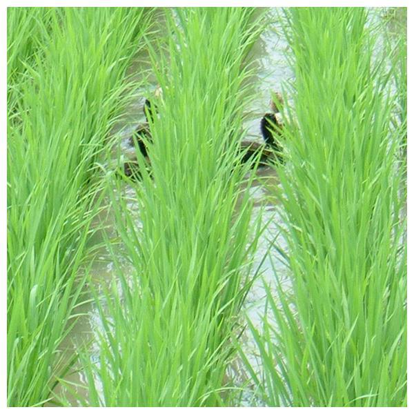 令和元年産 玄米(精米無)農薬不使用 白米 あいがも農法 お米 1kg〜当日精米|arumama|03
