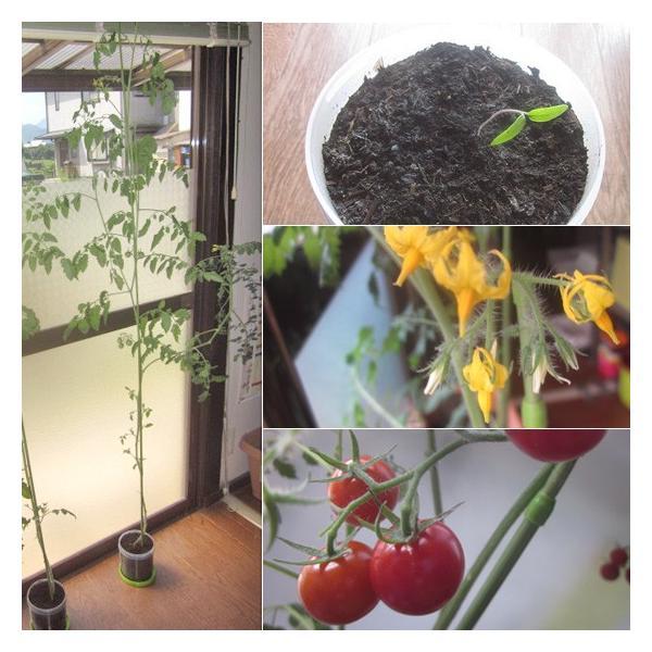 こうのとり育む菜園 プチ菜園 家庭菜園 腐葉土 お試しセット ミニトマト(千果)|arumama|04