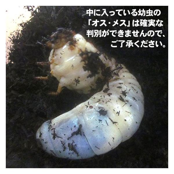 カブトムシ観察日記 幼虫(1匹)飼育マット arumama 02