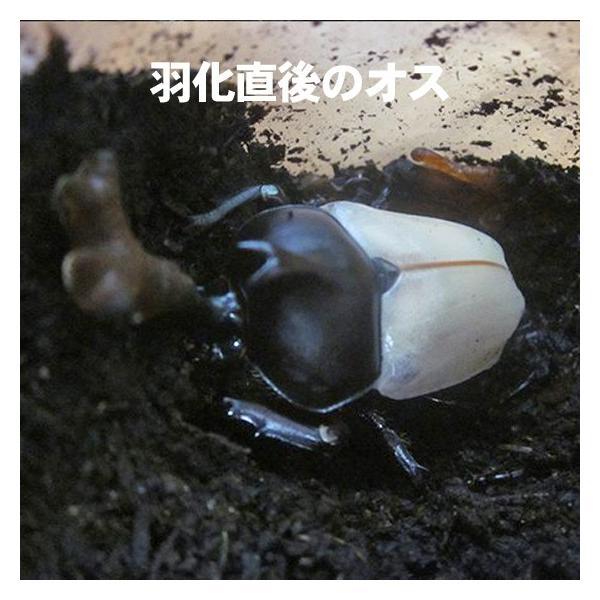 カブトムシ観察日記 幼虫(1匹)飼育マット arumama 04