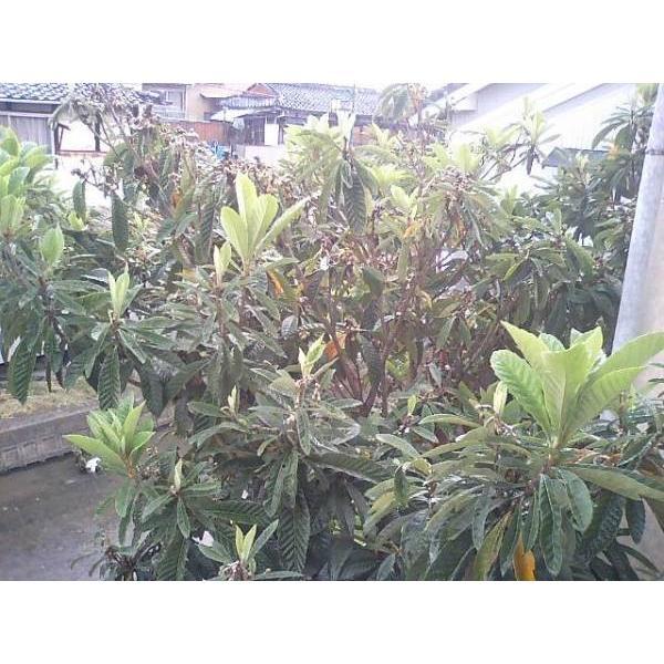びわの葉100g 滋賀産 無農薬 ペットのエサ うさぎ 枇杷の葉 温熱療法 ビワ健康法 漢方 ポイント消化