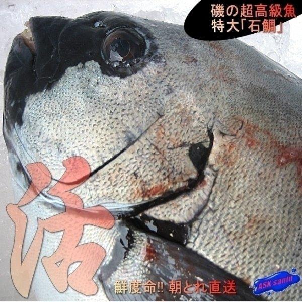 石鯛1kg前後 いしだい イシダイ タイ たい 鯛