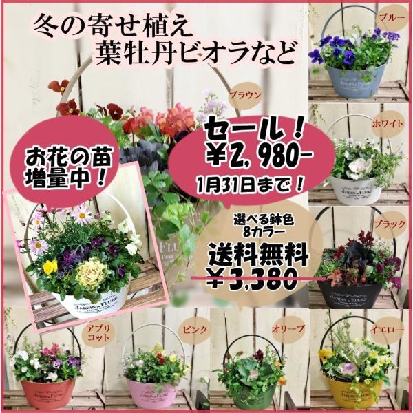 冬の寄せ植え葉牡丹ビオラなど選べる鉢8カラーお花の苗増量中!
