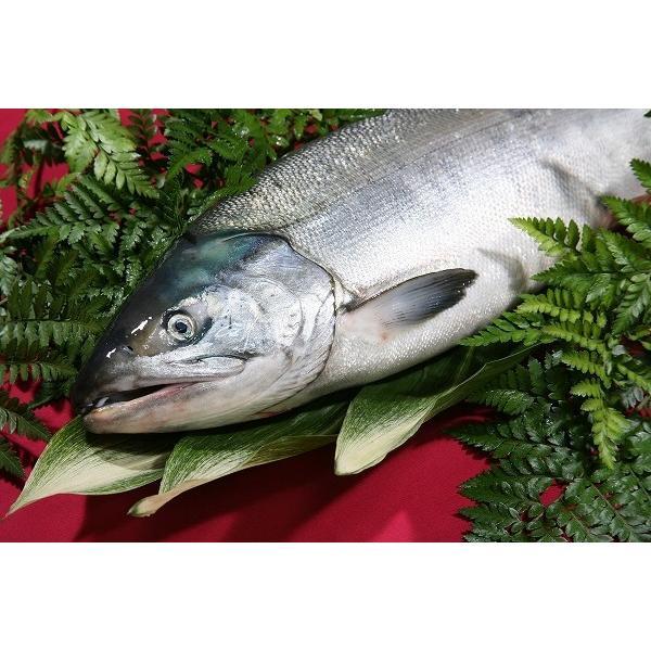 北海道産(鮭)生 秋鮭 オスメス無選別(訳あり) 4.5キロ〜5.0キロ/定置物/鮮度維持急速冷凍