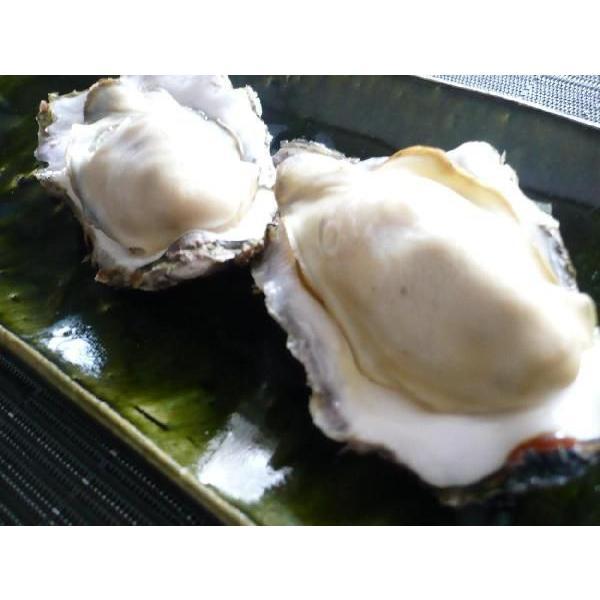 レア/3年物 特大4L 10個/北海道・活牡蠣(カキ)(殻付き 生食)牡蠣・厚岸西岸 仙鳳趾/牡蛎 殿牡蠣|atumaru-suisan|03