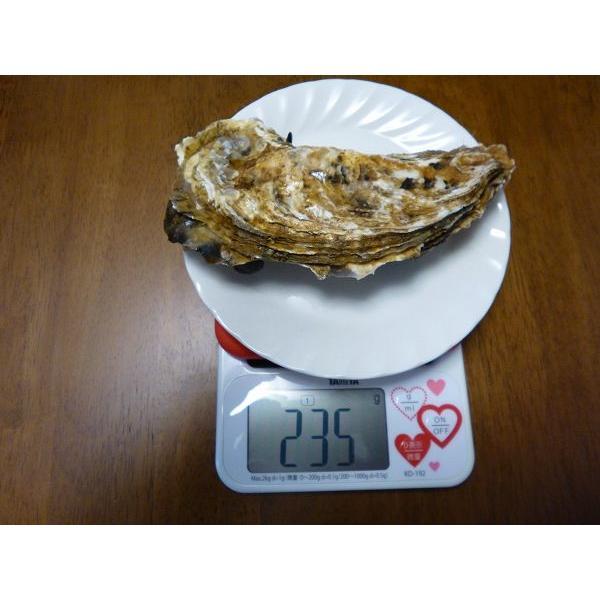 レア/3年物 特大4L 10個/北海道・活牡蠣(カキ)(殻付き 生食)牡蠣・厚岸西岸 仙鳳趾/牡蛎 殿牡蠣|atumaru-suisan|04