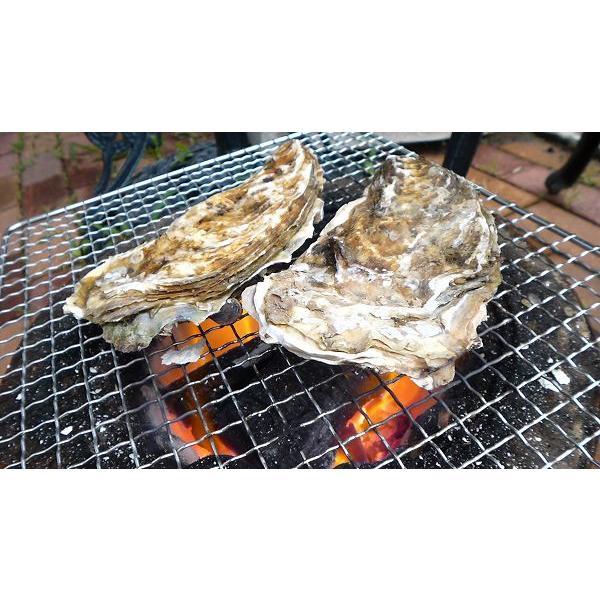 レア/3年物 特大4L 10個/北海道・活牡蠣(カキ)(殻付き 生食)牡蠣・厚岸西岸 仙鳳趾/牡蛎 殿牡蠣|atumaru-suisan|05