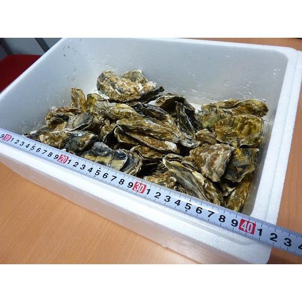牡蠣/最大140個 8キロ(訳あり ハネモノ)厚岸西岸 仙鳳趾 生牡蠣(かき)(殻付き 生食)/牡蛎|atumaru-suisan|02
