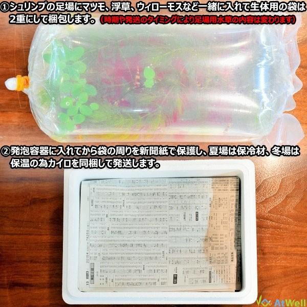 【特売中】チェリーシュリンプ3色MIX Aセット 10匹(+2匹補償サービス付き)|atwell|08