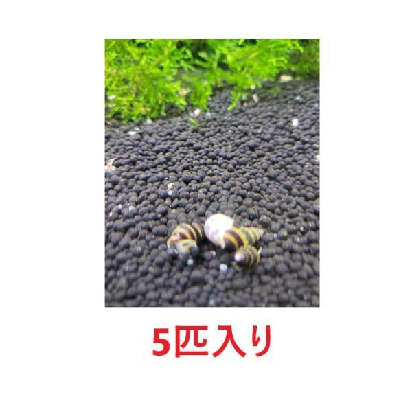  【B-O-D-AQUA】 ネコポス送料無料 (貝)スネールキラースネール(約2cm) 5匹 [生体]