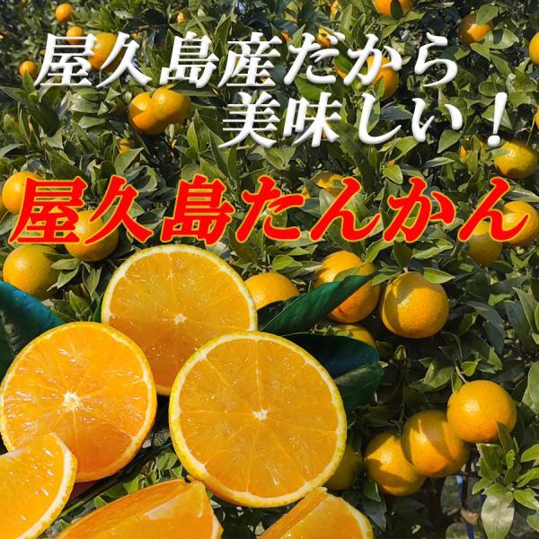 屋久島直送 屋久島たんかん 5kg×1箱 Mサイズ 贈答用 babayaku