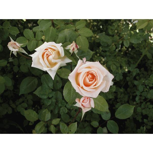 オールドローズ 四季咲きバラ苗   香紛蓮(コウフンレン)大苗 花色:ピンク  送料別途 毎年11月中旬から翌年05月までお届けの苗