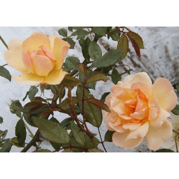 長尺つるバラ苗四季咲き黄色 フィリスバイド  送料別途 毎年11月中旬から翌年05月までお届けの苗