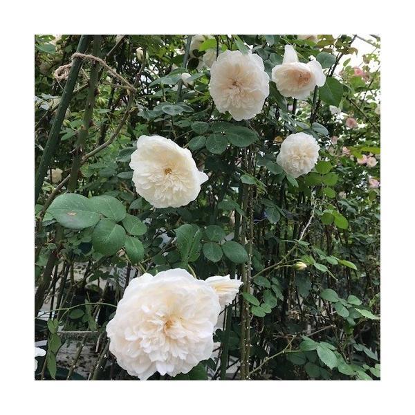 長尺つるバラ苗 四季咲き 香りあり白色 ソンブレイユ   送料別途 毎年11月中旬から翌年05月までお届けの苗