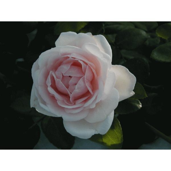 長尺つるバラ苗四季咲きピンク色 ニュードーン  送料別途 毎年11月中旬から翌年05月までお届けの苗