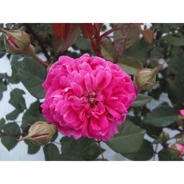 オールドローズ 長尺バラ苗 強香 グロワール ド デュシェ 花色:ピンク  送料別途 毎年11月中旬から翌年05月までお届けの苗