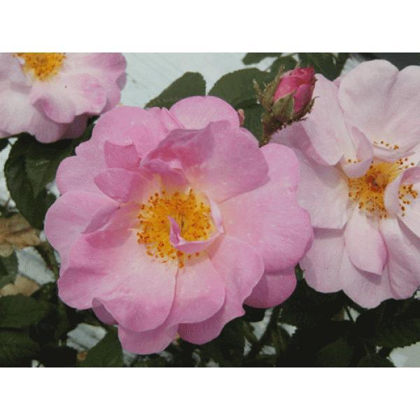 オールドローズ 長尺バラ苗   セント ニコラス(サンニコラ)花色:ピンク  送料別途 毎年11月中旬から翌年05月までお届けの苗