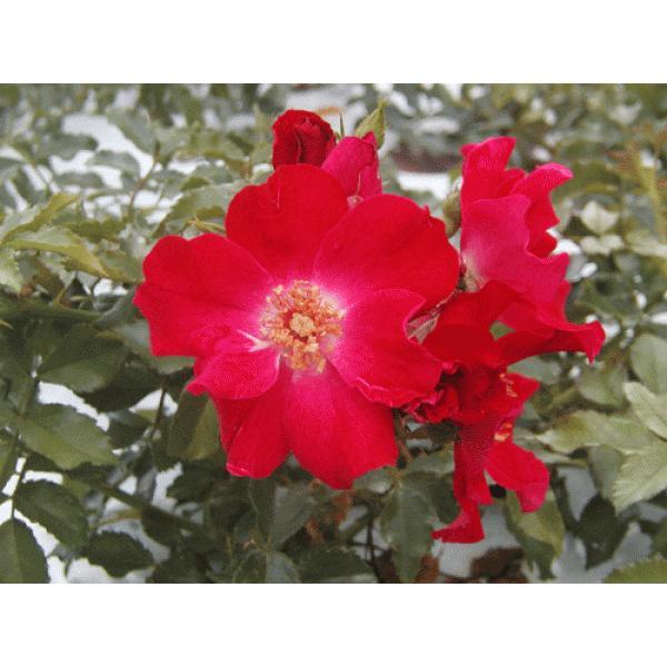 長尺四季咲きつるバラ苗 ドルトムント  花色赤  送料別途 毎年10月から翌年06月までお届けの苗