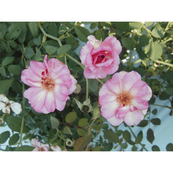オールドローズ 四季咲きバラ苗   パピロン長尺大苗 花色:ピンク  送料別途  毎年11月中旬から翌年05月までお届けの苗