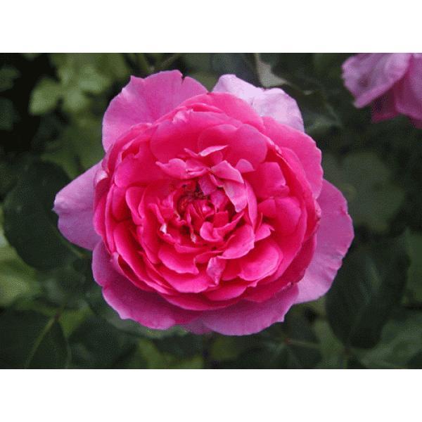長尺つるバラ苗四季咲きピンク色 パレード  送料別途 毎年11月中旬から翌年05月までお届けの苗