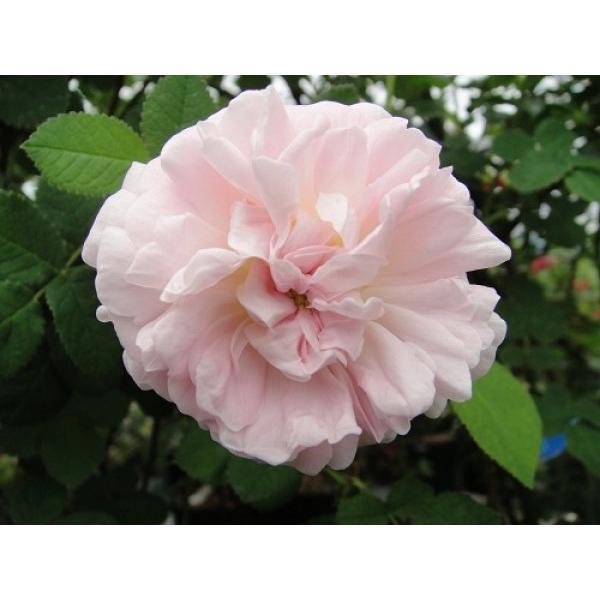 オールドローズ バラ苗 ベル イジス  ナチュラルカット大苗 花色:ピンク  送料別途 毎年11月中旬から翌年05月までお届けの苗