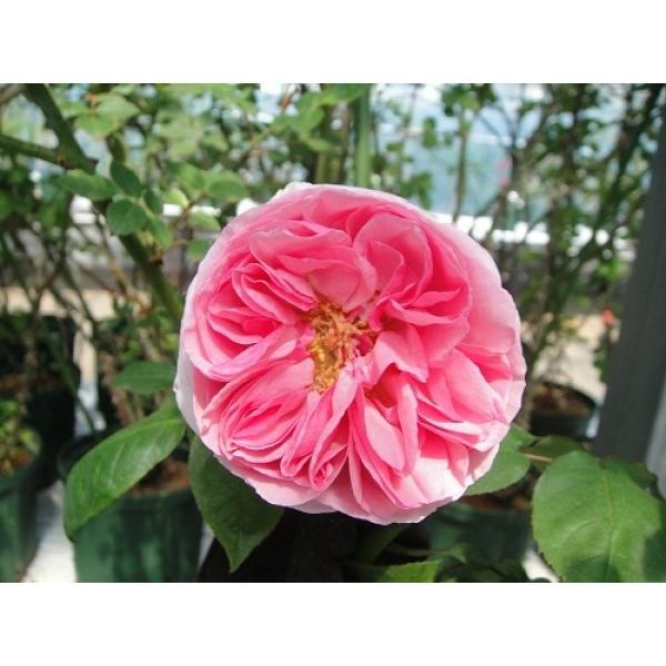 オールドローズ 長尺バラ苗   マダム エルンスト カルバ 花色:ピンク   送料別途 毎年11月中旬から翌年05月までお届けの苗