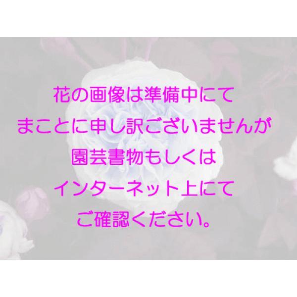 オールドローズ 四季咲きバラ苗   マリードゥセントジーン  ナチュラルカット大苗花色:ピンク  送料別途 毎年11月中旬から翌年05月までお届けの苗