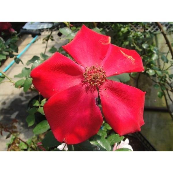 長尺つるバラ苗四季咲き赤色 アルテシモ  送料別途 毎年11月中旬から翌年05月までお届けの苗