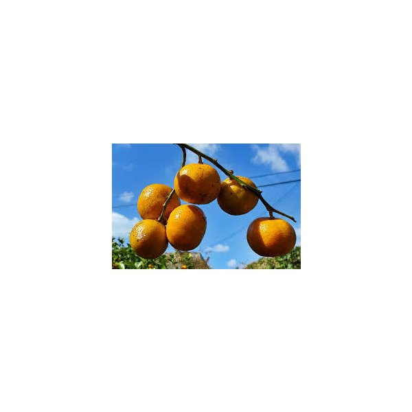シークワーサー 2キロ以上 果実 やんばるシークヮーサー 2キロ以上 沖縄産 青切り伊豆味 みかんの里のブランド  全国送料無料