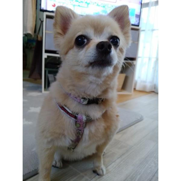 【オプション】首輪をダブルH型ハーネスに変更  犬用ハーネス  小型犬  中型犬  15mm/20mm幅  フルオーダーメイド|beans-factory|13