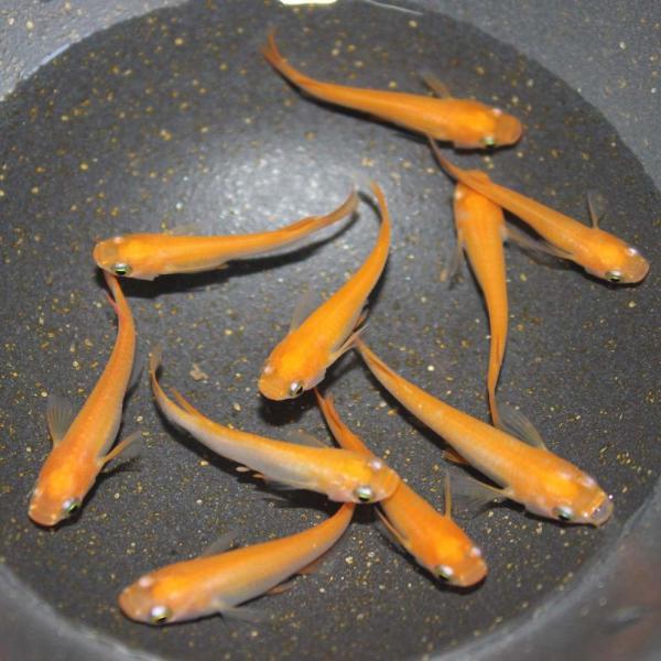 めだか生体楊貴妃メダカM〜L(2.5〜4cm)種親サイズ10匹朱赤紅レッド