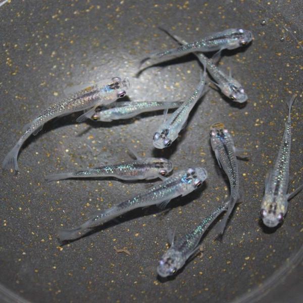 めだか生体夜桜メダカ(オーロラブラックラメ)M〜L(2.5〜4cm)種親サイズ10匹虹色ラメ