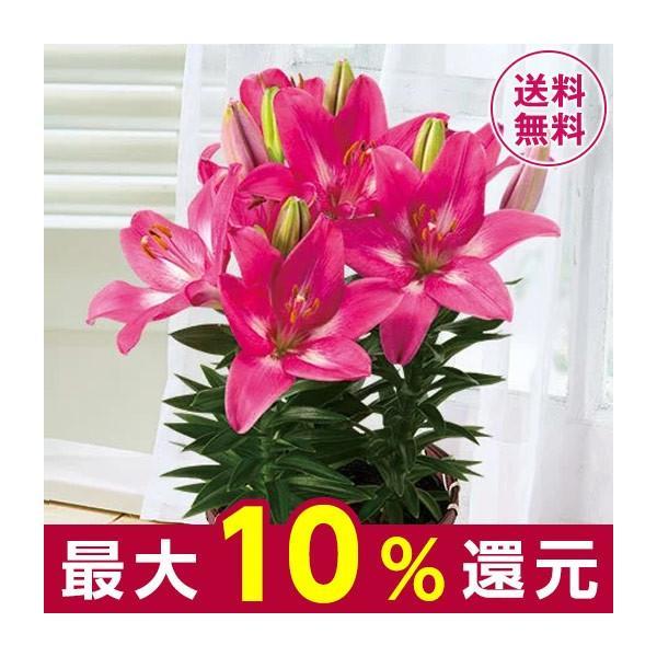 母の日 プレゼント ギフト 2020 お花 花 送料無料 花鉢 母の日期間お届け テーブル リリー ロザリン 4.5号