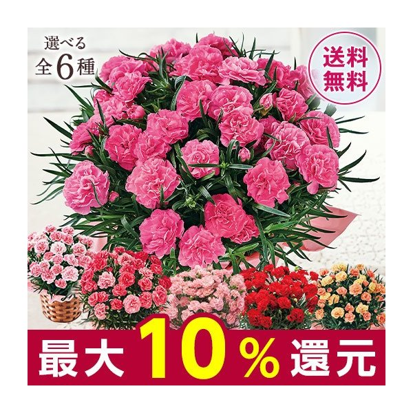 母の日 プレゼント ギフト 2020 お花 花 送料無料 花鉢 母の日期間お届け カーネーション スイート ジュエル 5号