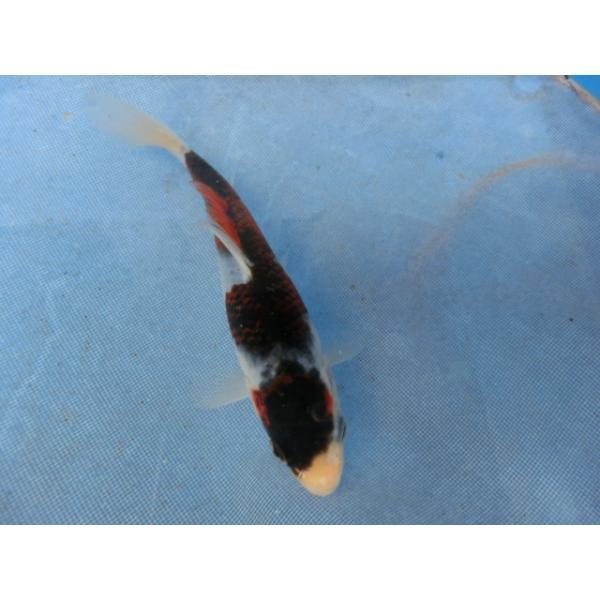 |錦鯉18cm銀鱗浅黄 性別不明ですNo0814
