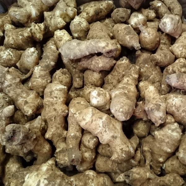 菊芋生 土つき 2kg キクイモ きくいも 農薬化学肥料不使用 国産おかやま備中産  シーズン終了間近|bicchu|04