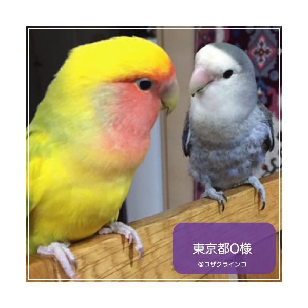 ハリソンバードフード ペレット/アダルトライフタイム ファイン|bird-style|03